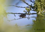 Taigagök - Oriental Cuckoo (Cuculus optatus)