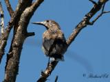Smalnäbbad nötkråka - Eurasian nutcracker (Nucifraga caryocatactes macrorhynchos)