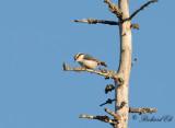 Nötväcka - Eurasian Nuthatch (Sitta europaea asiatica)