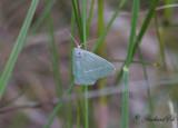 Blekgrön halvmätare - Light Emerald (Campaea margaritaria)