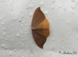 Eksikelvinge - Oak Hook-tip (Watsonalla binaria)