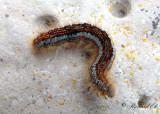 Ängsringspinnare - Ground Lackey (Malacosoma castrensis)