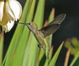 10 humming bird.jpg