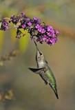 humming bird 3.jpg