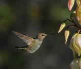 4 humming bird.jpg