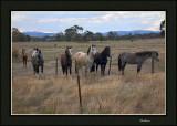 Inquisitive horses