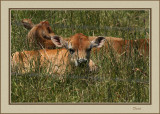Young calves