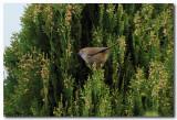 Brown Thornbill