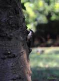 White - throated Treecreeper - female