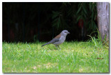 Grey shrike thrush.