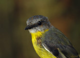 Yellow Brested Robin