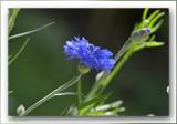 korenbloem  bleuet  cornflower