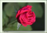 red rose dame de coeur