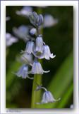 wilde hyacint of boshyacint - Hyacinthoides non-scripta of Scilla non-scripta