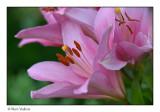 daglelie (Hemerocallis)
