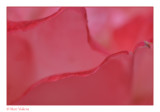 macro impression rose