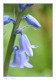 Blue Bells boshyacint