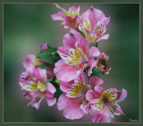 Pink Princess Lilies