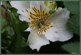 White Princess Lily