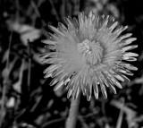 Dandelion in black & white / Pissenlit en noir et blanc