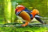 Panamanian Duck