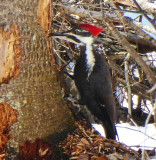 Pileated Woodpecker - Wasaga Beach, Ontario