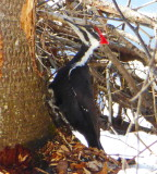 Pileated Woodpecker P1000287.JPG