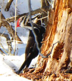 Pileated Woodpecker P1000262.JPG