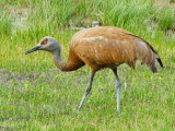 Sandhill Crane - May 31, 2014 Anchorage