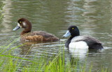 Greater Scaup Female (l) Male (r) P1040006 May 31, 2014