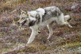 Wolf in Denali National Park, Alaska P6030171