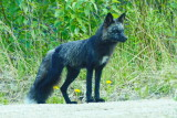 Black/Silver Fox (Colour variation of the Red Fox) P1050011