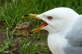 Seagull eating Crayfish in one Gulp