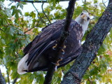 Eagle on the Beaver River P1100190.JPG