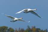 2 Swans Flying P1130903