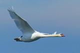 Swan Flying P1130904 web.JPG