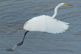 Egret - St.Petersburg, Florida  P1210766