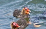 Another coot chick..