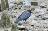 A big black bird