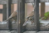 Two Sparrows.