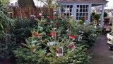 Christmas trees for sale in March.