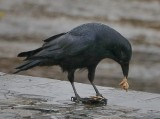 Crow eating mussels for lunch.