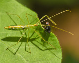 PALE GREEN ASSASSIN BUG (Zelus Iuridus)