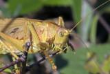 Locusts  Heuschrecken - Spinnen - spiders