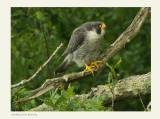 Peregrine Falcon-Falco peregrinus (male)