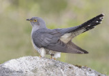 European Cuckoo - Cuculus canorus