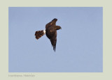 Northern Harrier Circus cyaneus