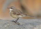 Cape Wagtail (Motacilla capensis)