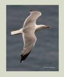 Yellow Legged Gull - Larus michahellis