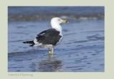 Lesser Black-backed Gull - Larus fuscus intermedius